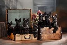 Dogs: Scotties