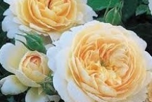The English Rose / and other roses...The folks at David Austen Roses prefer their roses are called 'English Roses.' because they feel that England, in particular, is associated with the rose. (David Austin, The English Roses, Classic Favorites & New Selections.)