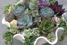 Garden: Succulents