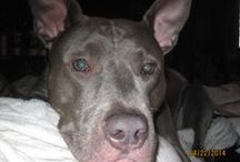 Zoey/PitBulls / Pictures of my Zoey and other Pitbulls  / by Danielle Brown