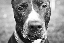 """Dog fighting and BSL issues / There are MANY animal welfare boards on my site. Please look at all of them to narrow down what you are looking for and then share. You can make a difference. The additional board """"Animal Stories"""" is for feel good stories and random articles about animals that I come across. / by Desert Heart"""