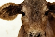 vaca / I really like cows. I'm not sure if they are mysterious or incredibly simple. / by Desert Heart