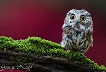 Pöllöjä / Owls / Huu! / Hoot!