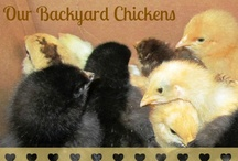 Chickens / Fun articles, pictures, and more centered around #Chickens Homesteaders give and get tips about raising your chickens on a farm or in your own back yard!  / by Lisa Samples