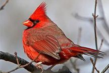 """""""I have once seen a cardinal sing on the wing."""" ~ Hervey Brackbill / by Teresa Mitchell"""