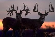 DEER / All kinds of deer, moose, caribou and elk / by Teresa Mitchell