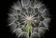 Dandelion Puff . . . / and other fluffy seeds.      .   .   .   .   A genuine prayer has so much more power than a wish . . . ! Why not say a prayer today!