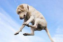 Man's Best Friend - Labs / Everything Labrador Retriever  / by Chelsa Kelley