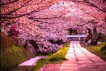 Beautiful Cherry Blossoms Around the World / One of the best known symbols of spring in Japan are the magnificent pink Japanese cherry trees, also called sakura. Starting in mid-March, the Internet is flooded with amazing pictures of all varieties of pink, blooming in parks and streets of different cities of Japan. The earliest city to blossom is Tokyo – this year its sakura trees are expected to be in full bloom by the end of March. Depending on a city, Japanese cherry trees may bloom even through May.