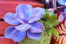 SUCCULENT OBSESSION / For succulent lovers / by Patricia Ross