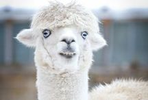 Alpacas: A Loan From Mother Nature