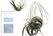Pflanzen Liebe : *Luft-Pflanzen* / Luft-Pflanzen (air plants) als Dekoration im Haus.