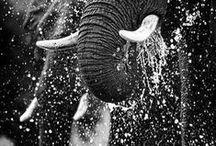 Gentle Giants / ... save the elephants ... / by Jessica Lynn Morgan