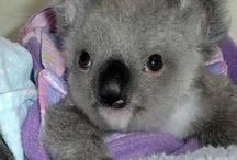 Koala bears ...How cute are they?? / by Kristy DeJong