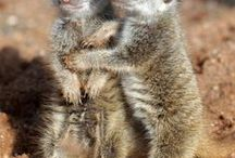Meerkats / To compare the meerkat to Africa's 'big five' might seem somewhat fanciful, but this small, charismatic mongoose is undoubtedly one of the continent's most popular and engaging animals.