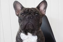Måns the Frenchie