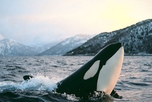 Orca / The killer whale (Orcinus orca), also referred to as the orca whale or orca, and less commonly as the blackfish, is a toothed whale belonging to the oceanic dolphin family. / by Kevin Tanaka