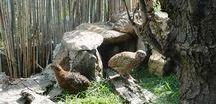 Japonske prepelice / Prepelice sú malý druh vtákov, ktorý patrí do rodiny bažantov. V roku 1595 sa prvý krát domestikovali v Japonsku.Sú aj dva druhy prepelíc nachádzajúce sa v Indii, t.j. Divoko sfarbená kŕmná u nás známa pod pojmom JUMBO.Sú to prepelice nachádzajúce sa v Džungli (Coturnix Coromandelica) a ešte Hnedo sfarbená (Tibetská Jumbo najdete aj u nás v ponuke) táto japonská prepelica (Coturnix Coturnix Japonica), je chovaná na mäso alebo na výrobu mäsa z kuriatok...