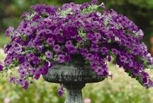 Container Gardens / Gardening in containers, herbs, annuals, perennials, and fruit trees & small trees.