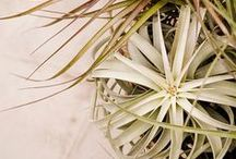 Tillandsia - Air Plants / by terrain