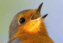 ROBIN / Red Robin