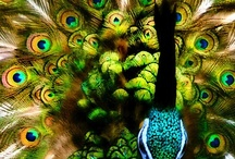 My Beloved Peacock Life / Peacock are gorgeous to me...  I am fascinated by how people reinvent it and display it in a variety of ways.