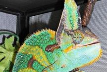 Lifestyles of the Colorful Chameleon / Chameleons are the coolest pets. RIP Reptar, we miss you buddy.