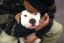 Pitties without families ! / Pit bulls, American bulldogs, Staffordshire terriers, Cane Corso, etc.