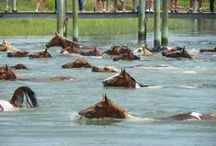 Pony Penning Week 2014