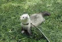 Ferrets by the dozen