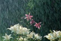 Lilies in the Rain / Lilies love the rain. BUT they're summerflowers!