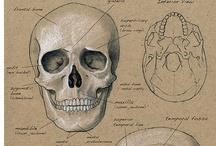 Homeschool Anatomy; Skeletal System