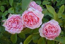 Tough as Nails Roses / easy roses, easy care roses, tough roses, care free roses, carefree flowers, Earthkind roses