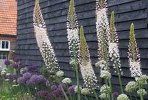 Tall Spike Flowers for back of the border / Tall spiky plants, border plants
