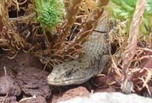 Xeric Garden Critters / Just because my garden is dry, doesn't mean that it can't be home to lots of small creatures.  Frogs, salamanders, lizards and many mammals are found here, happily surviving and thriving amongst the rocks. / by Drought Smart Plants