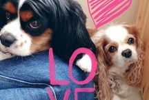 Cavalier love ❤ / Sunny skies with a chance of Cavalier... ❤