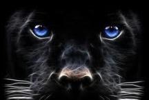 Critters: Big cats