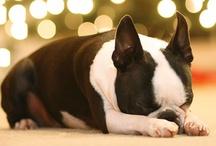 Boston Terrier / by Kyla Johnson