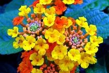 Grown In My Garden / flowers, bushes, herbs, houseplants, vegetables, trees / by Lisa Golab