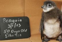 Cassie the Penguin  / Check out our collection of favorite Cassie (formerly known as Casanova!) pics.  / by Adventure Aquarium