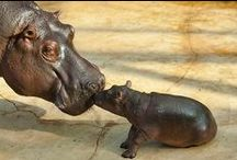 Only a Hippopotamus Will Do / by Adventure Aquarium