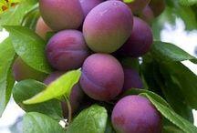 Garden: Fruit trees