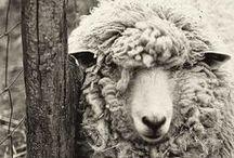 Sheep and Fiber Animals / Sheep, Angora Goats and Rabbits