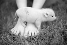 yay! piggies make me squeal! / by Cheryl Reyes of Reyes of Holistic Healing ~ Spiritual Therapist