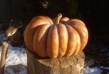 Garden: Pumpkins, Squash and Gourds