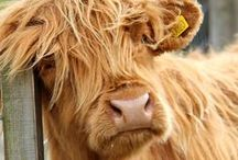 Hairy Coo / Highland Cow