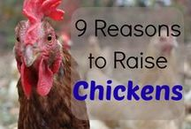 Backyard Chickens / Information and helpful tips for raising backyard chickens!