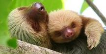 Sloth Life... / I love sloths. Everything sloth. The sloth is my spirit animal. Take life advice from a sloth: they don't do shit and they haven't gone extinct. How beautiful it is to do nothing and then rest after. Sloths Rule. Humans Drool. That is all.