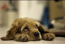 Dogs: Spaniels / by Erika Blake