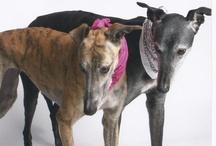 Greyhounds!!